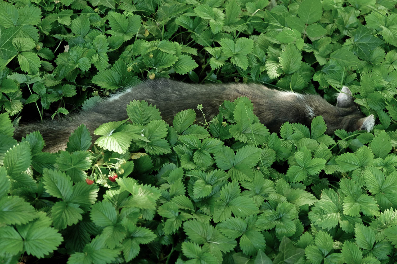 Chat caché dans les fraises des bois
