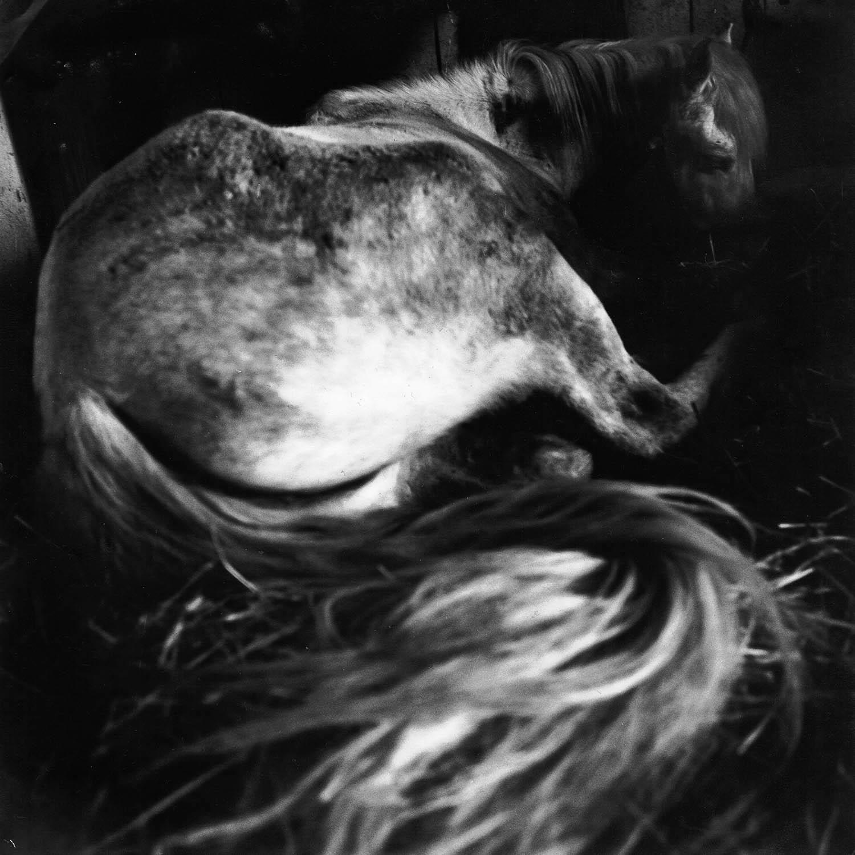 Cheval de Camargue couché dans la stalle
