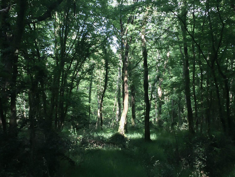 Lumière d'or, forêt de Touffou