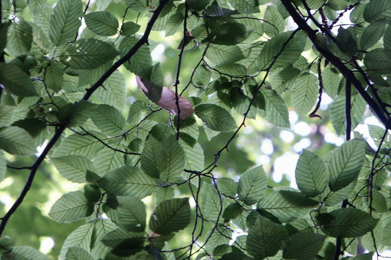 Forêt de hêtre, feuille rose