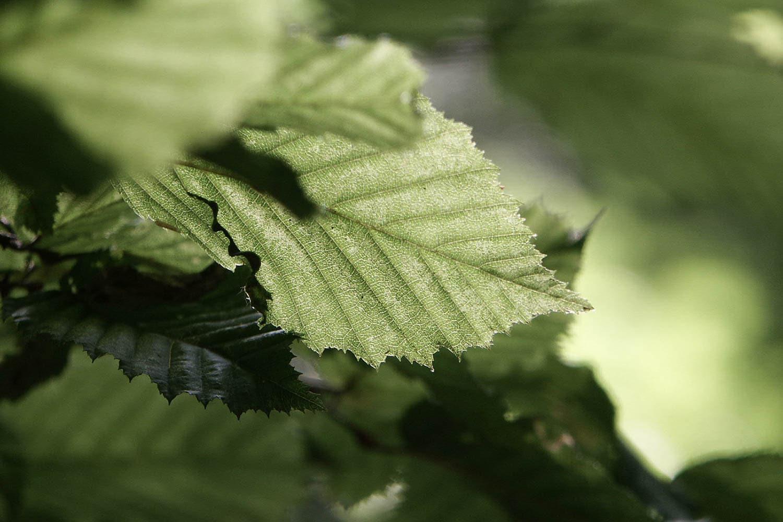 Forêt, Jeune feuille de hêtre