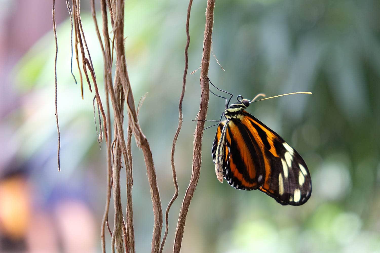 Papillon sur des lianes