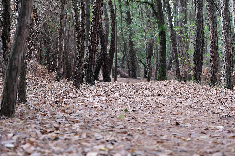 Forêt de pins, Brocéliande
