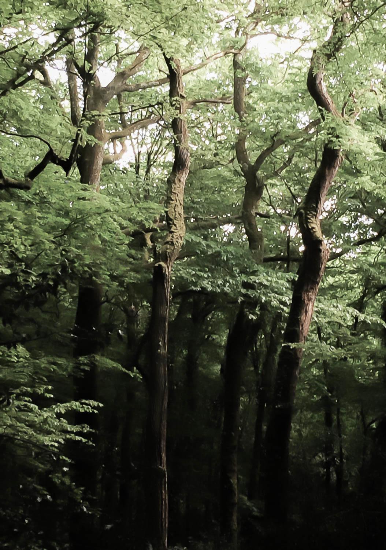 Troncs d'arbre en spirale, forêt de Touffou, Loire Atlantique